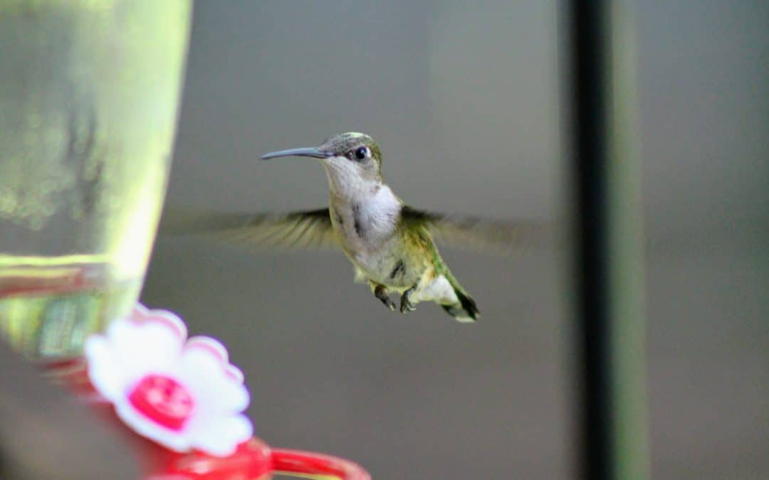 Ruby-throated | Photography